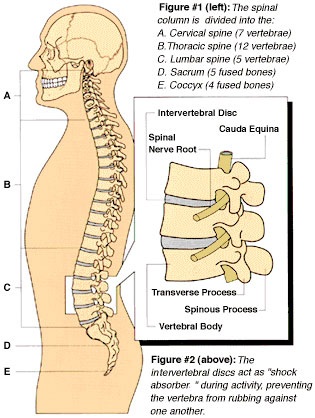anatomy of lumbar spine - the smart clinic - salt lake city, park, Human Body
